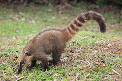 Coati in the park of Iguazu Royalty Free Stock Photos