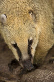 Coati portrait. South American Coati, Nasua nasua, portrait Royalty Free Stock Photography