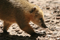 Coati portrait Stock Image