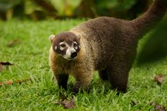 Coati portrait close up. Adult coati standing in the grass and looking at the viewer Royalty Free Stock Photos