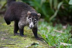Coati portrait close up. Adult coati walking towards the viewer Royalty Free Stock Photography