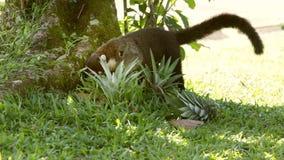 Coati przy spoczynkowym terenem w Costa Rica zdjęcie wideo