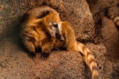 Coati racoon Stock Photography