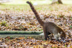 Coati in the rain forest of national park Tikal in Guatemala Royalty Free Stock Image