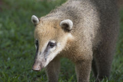 Coati. In the rainforest near Iguazu Falls Stock Photos