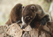 Coati Relaxing on a Rock Wall. Male white nosed coati lays relaxing on a rock retaining wall Stock Photography
