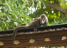 Coati Relaxing on the Roof Top Stock Photo