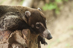 Coati Resting on a Rock Wall. Male white nosed coatimundi resting on a rock wall Royalty Free Stock Photography