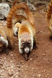 Coati ring Tailed Nasua Narica animal Royalty Free Stock Photography
