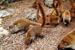 Coati ring Tailed Nasua Narica animal Royalty Free Stock Image