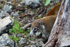 Coati ring Tailed Nasua Narica animal Stock Photos