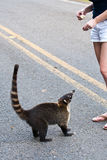 Coati on roadside Royalty Free Stock Images