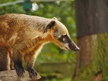 Coati. Side view of Coati with his typical long nose Royalty Free Stock Images