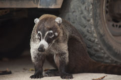 Coati Sitting Beside Truck. Male white nosed coati sits next to the tires of a vehicle Royalty Free Stock Images