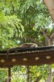 Coati Sleeping auf Dach Stockfotografie