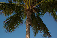 Coati som ner klättrar en palmträd Royaltyfri Foto
