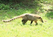 Coati sospechado Imagen de archivo