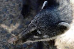 Coati ssak Zdjęcie Royalty Free