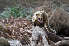 Coati Stock Photos