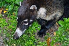 Coati sud-américain (nasua de Nasua) Image libre de droits