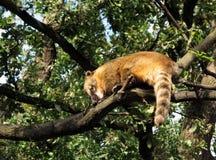 Coati sur un branchement d'arbre Images stock