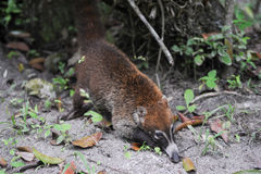 A coati on Tikal national park Royalty Free Stock Photos