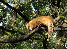Coati on a tree branch. Coati sitting high on a tree branch Stock Images