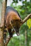 Coati w Amazon tropikalnym lesie deszczowym, Yasuni park narodowy Fotografia Stock