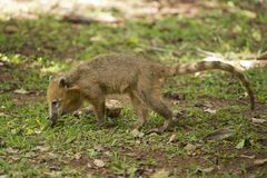 Coati walking on the Grass Stock Photos