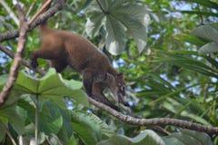 Coati zwierząt fauny egzotyczny Jukatan tropikalny Obrazy Royalty Free