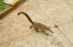Coatie in the urban area. Coati animal living in urban area. GeneraNasuaandNasuella, coatimundi, Mexicantejon,cholugo,ormoncun, Costa Ricanpizote Stock Photography