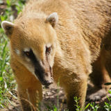 Coatimundi Royalty Free Stock Photos