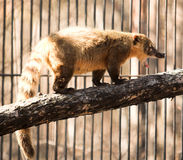 Coatimundi Royalty Free Stock Photography
