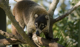 Coatimundi Stock Photo