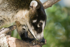 Coatimundi Stock Photography