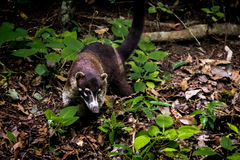 Coatimundi Raccoon at Tikal National Park - Guatemala Royalty Free Stock Photos