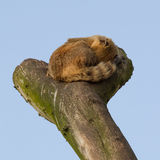 A coatimundi is sleeping Stock Photos