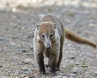 Coatimundi Walking along a Rainforest Path - Panama Royalty Free Stock Images