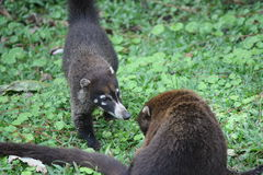 Coatimundis greeting each other Royalty Free Stock Photo