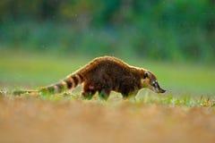Coatinaturlivsmiljö, Pantanal, Brasilien djur från plats för vändkretsskogdjurliv från naturen Djur i guling och gräs, mörker Royaltyfri Fotografi