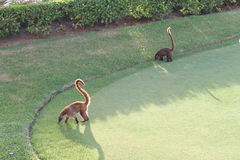 Coatis Images stock
