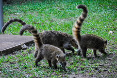 Coatis, Iguazu Falls, Argentina Royalty Free Stock Images