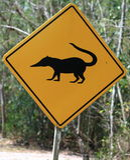 Coatis, zwierzęta krzyżuje drogowego znaka/ Zdjęcia Stock