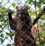 Coatitier mögen Waschbären im Käfig in Costa Rica Stockbilder