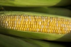 Cob of Corn. A cob of corn, at the market Royalty Free Stock Photography