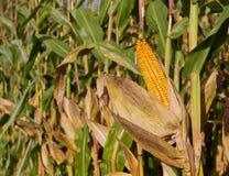 Cob of corn on cornfield Royalty Free Stock Photography