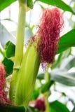 Cob of Corn Stock Photos