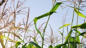 Cob corn or maize on corn field organic farm background against the blue sky.