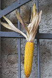 Cob on gate Stock Photography