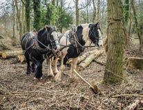 Cob Horse team. Team of working Cob Horses Royalty Free Stock Photo
